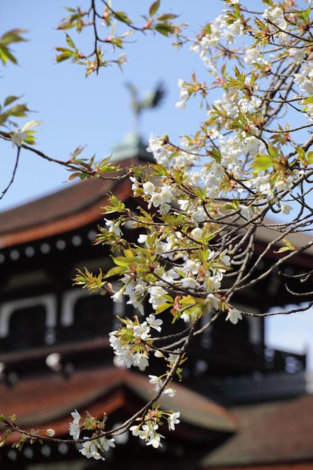 Kanhisakura0903075