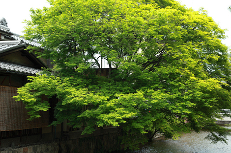 Gionsirakawa1105176