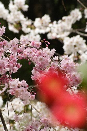 Sakura0605251