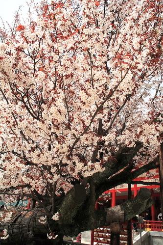 Sakura06052510