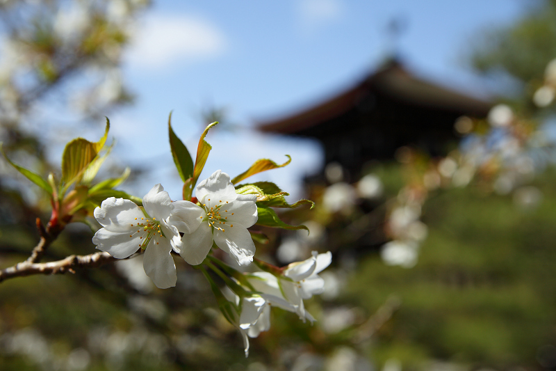 Kanhisakura0903076
