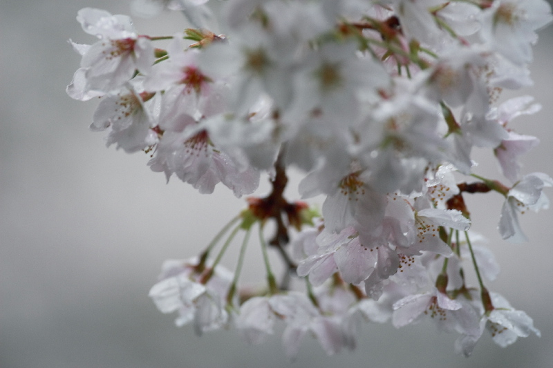 Sakura0705301